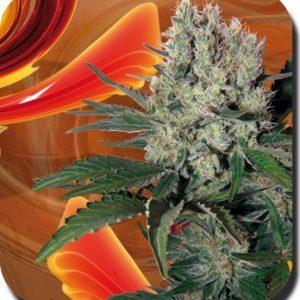 Syrup- Auto Buddha Seeds