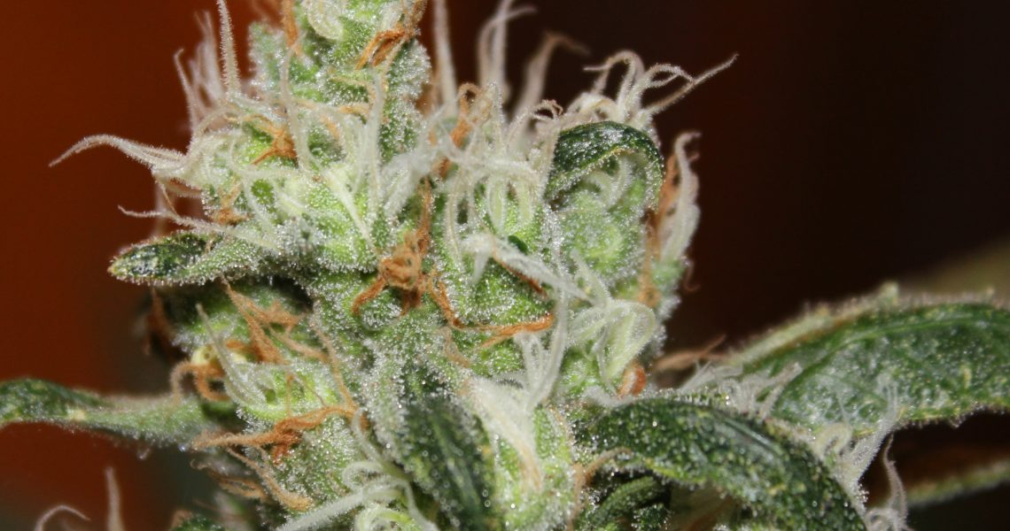 Cotton Candy - Delicious Seeds