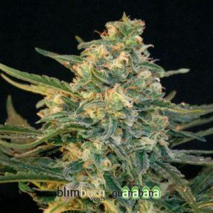 guanabana-feminizada-blim-burn-seeds