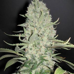 white-widow-x-big-bud