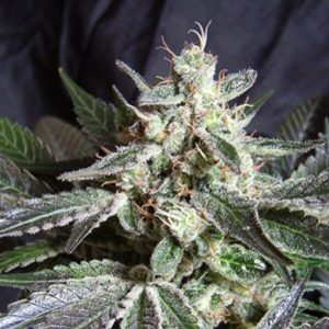 black-jack-fast-version-sweet-seeds-feminizada