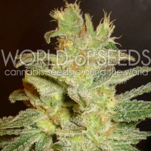 northen-light-x-big-bud-feminizada-word-of-seeds