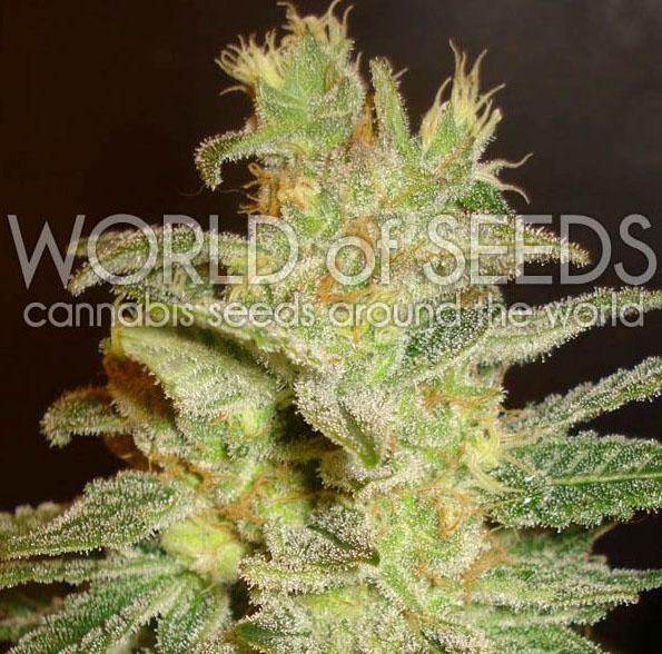 northen-light-x-big-bud-feminizada-word-of-seeds