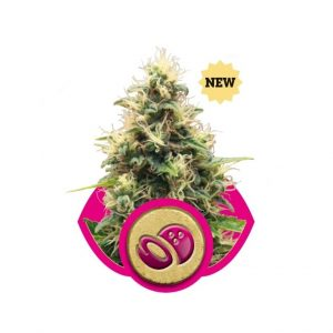 somango-xl-feminizada-royal-queen-seeds