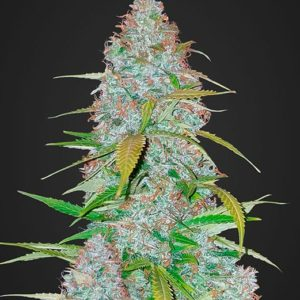 californian snow auto-los 5 sentidos grow shop