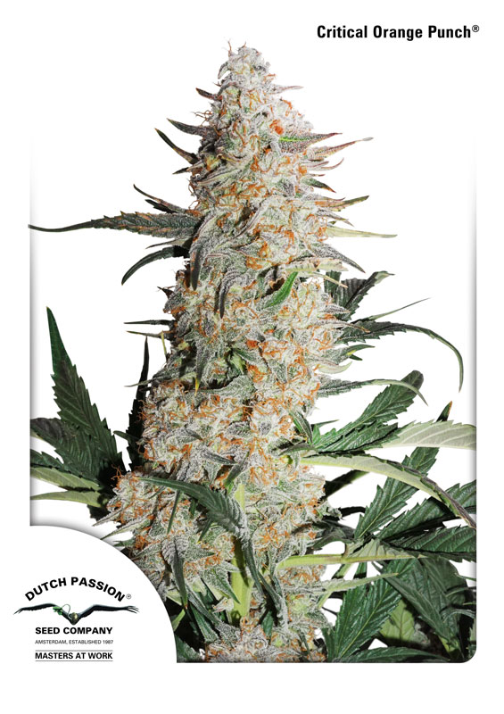 critical orange punch-dutch passion- los 5 sentidos grow shop beniidorm